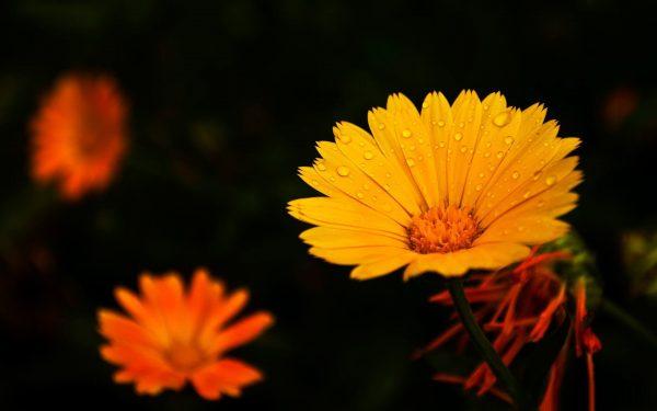 Bông hoa màu cam đẹp dành cho nền pp và thiết kế